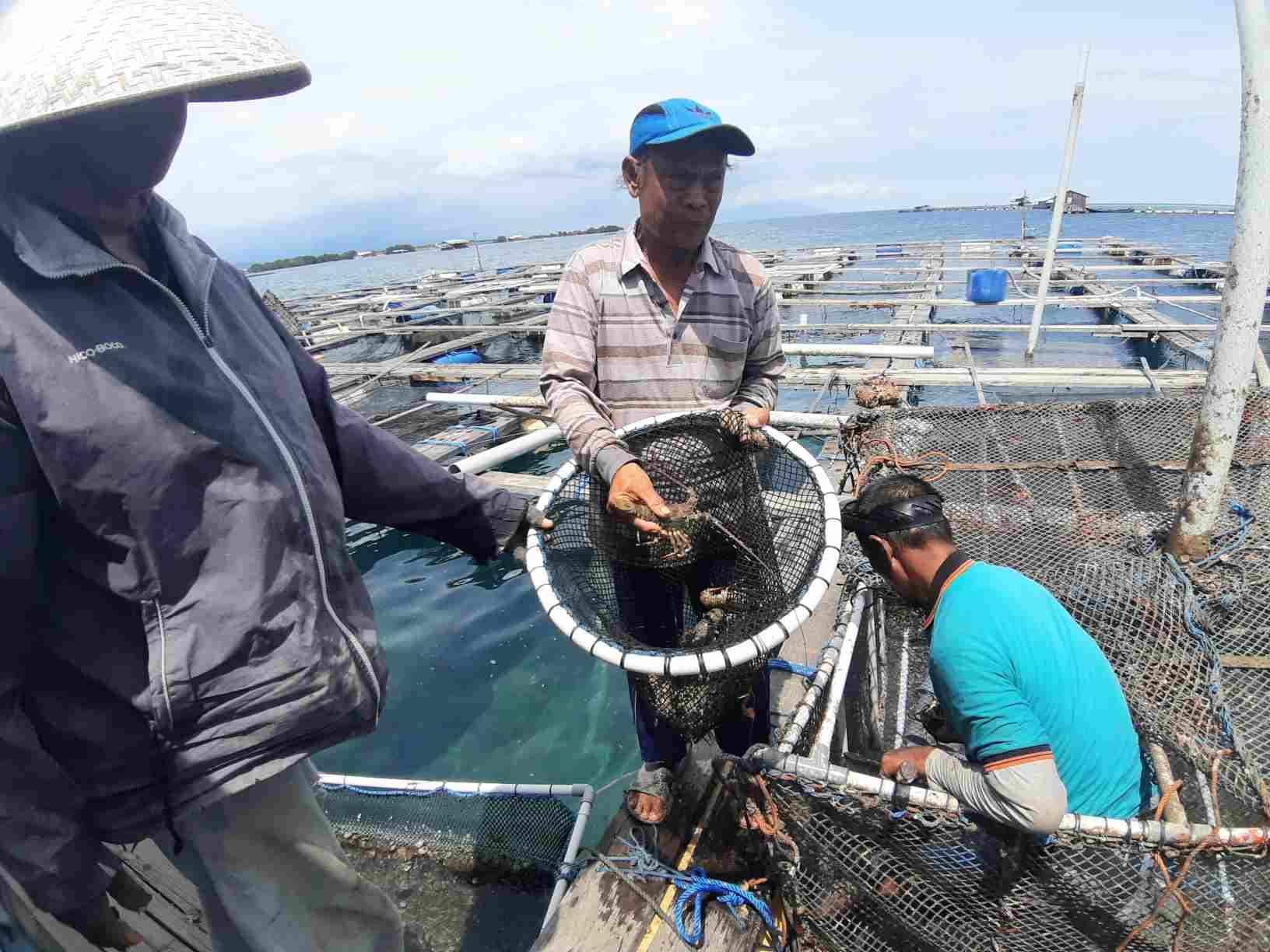 Haji Amal (tengah) saat menujukan Lobster hasil panen perdananya.