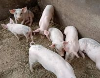 Keterangan Foto :   Foto: Bibit Babi jenis Landrace yang diternak oleh sejumlah masyarakat di Buleleng.